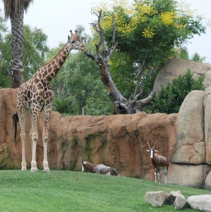 Zoo-Bioparc girafa Valencia
